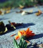 Flor do outono Fotografia de Stock Royalty Free