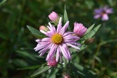 Flor do outono do campo Foto de Stock Royalty Free