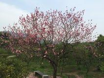 Flor do pêssego foto de stock royalty free