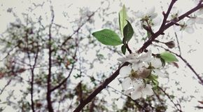 Flor do pêssego fotografia de stock royalty free