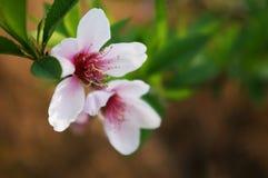 Flor do pêssego Imagens de Stock Royalty Free