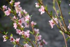 Flor do pêssego Foto de Stock