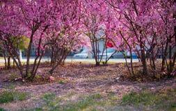 A flor do pêssego Fotos de Stock Royalty Free