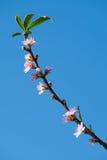 Flor do pêssego da mola Imagem de Stock