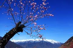 Flor do pêssego e montanhas tampadas neve Fotos de Stock