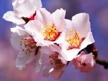 A flor do pêssego selvagem da montanha Fotografia de Stock Royalty Free