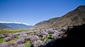 Flor do pêssego sob a montanha da neve Imagem de Stock
