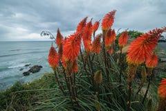Flor do pôquer encarnado do Kniphofia em uma praia imagens de stock