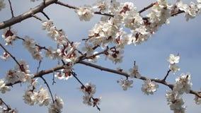 Flor do p?ssego em abril contra o c?u azul vídeos de arquivo