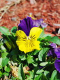 flor do pansy Fotos de Stock