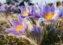 Flor do pasqueflower Imagens de Stock