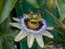 Flor do Passiflora Fotos de Stock