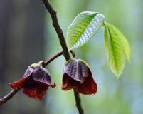 Flor do Pawpaw e detalhe das folhas Fotografia de Stock Royalty Free