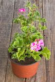 Flor do pelargonium do gerânio no potenciômetro no fundo de madeira Foto de Stock
