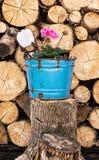 Flor do Pelargonium plantada no vaso de flores azul com wo desbastado Fotos de Stock