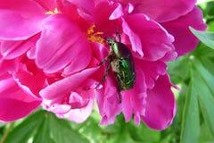 Flor do Peony Fotografia de Stock Royalty Free