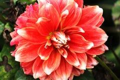 Flor do Peony Foto de Stock Royalty Free