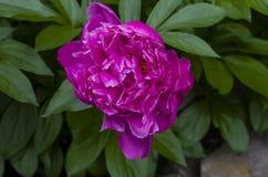 Flor do Peony imagens de stock