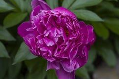 Flor do Peony Imagem de Stock