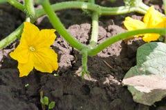 Flor do pepino fotografia de stock