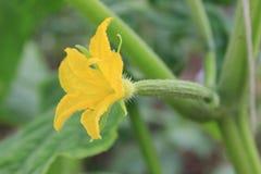 Flor do pepino imagem de stock royalty free