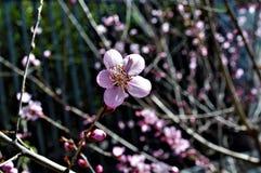 Flor 12 do Pequim do yinghua de Cherry Blossom imagens de stock royalty free