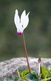 Flor do persicum do cíclame Fotografia de Stock Royalty Free