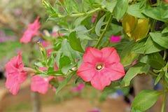 Flor do petúnia imagens de stock