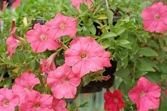 Flor do petúnia foto de stock