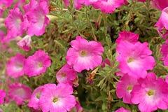 Flor do petúnia fotos de stock royalty free