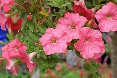 Flor do petúnia imagem de stock