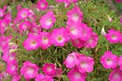 Flor do petúnia foto de stock royalty free
