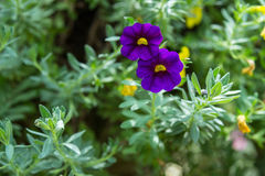 Flor do petúnia no jardim, no fundo da natureza ou no papel de parede Imagem de Stock