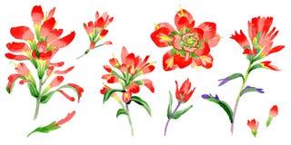 Flor do pincel indiano do Wildflower em um estilo da aquarela isolada ilustração stock