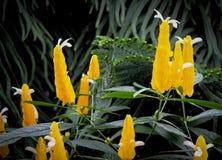 Flor do pirulito nos jardins botânicos Foto de Stock Royalty Free
