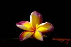 Flor do Plumeria Fotografia de Stock