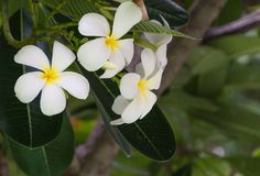 Flor do Plumeria imagem de stock