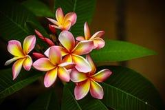 Flor do Plumeria fotografia de stock royalty free