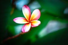 Flor do Plumeria foto de stock royalty free