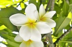 Flor do Plumeria Foto de Stock