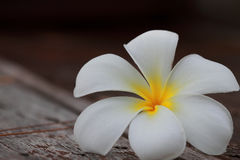 Flor do Plumeria Fotos de Stock