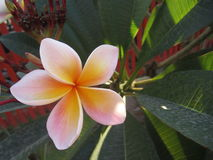 Flor do Plumeria Foto de Stock Royalty Free