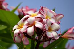 Flor do Plumeria imagem de stock royalty free