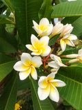 Flor do Plumeria Fotografia de Stock Royalty Free