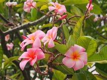 Flor do Plumeria Imagem de Stock Royalty Free