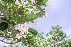 Flor do Plumeria do close up da flor branca Foto de Stock