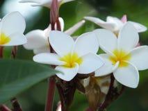 Flor do Plumeria do close up no fundo da folha Fotografia de Stock Royalty Free