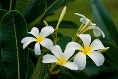 Flor do Plumeria (Frangipani) Fotografia de Stock Royalty Free