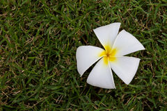Flor do Plumeria, Frangipani Foto de Stock