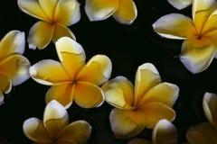 A flor do Plumeria na água para termas e relaxa Fotografia de Stock Royalty Free
